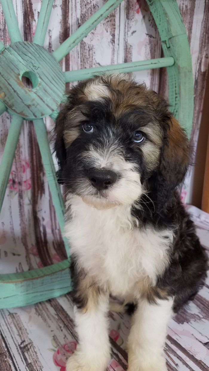 bernedoodle-male-puppy-for-sale
