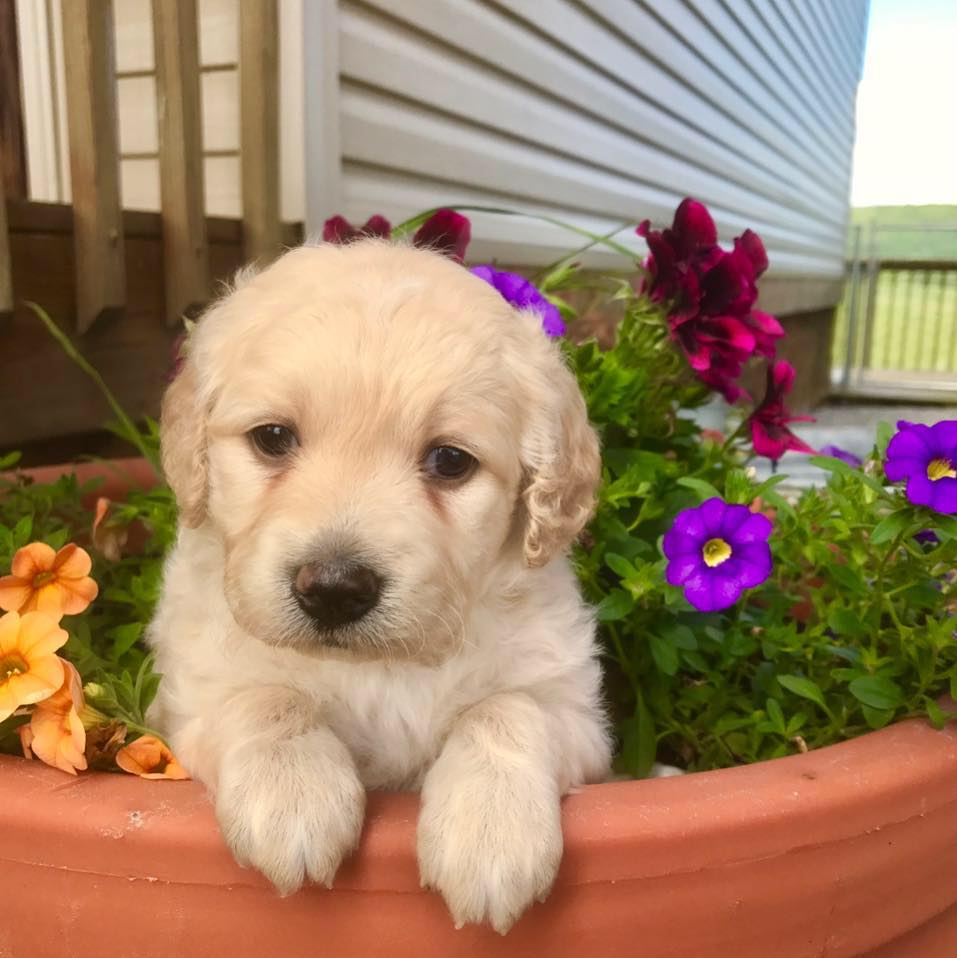 Doodle Puppies for Sale