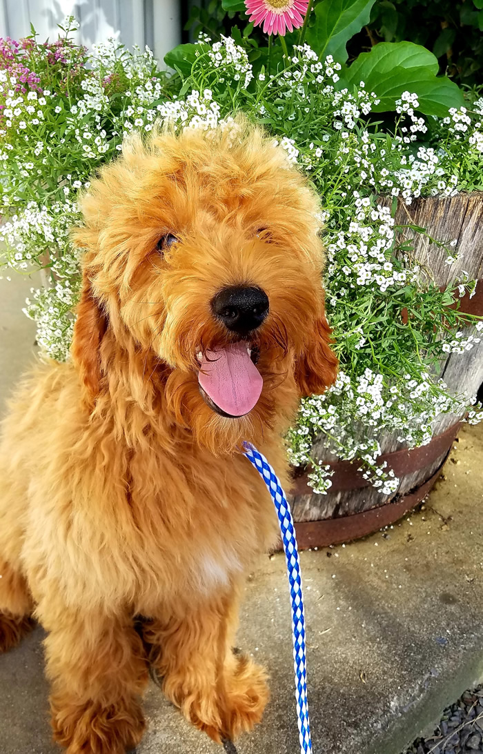 Ace - Trained Goldendoodle Puppy