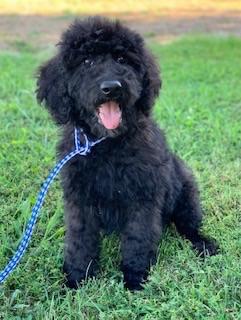 Carver-Goldendoodle-Puppy