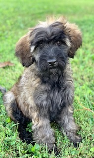Cooper-Sable-Male-Goldendoodle-Puppy