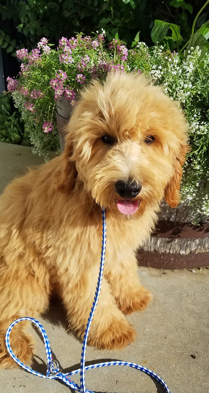 Duke-Trained-Goldendoodle-Puppy