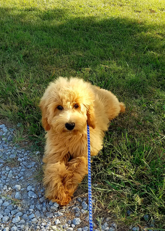 Ace Trained Goldendoodle