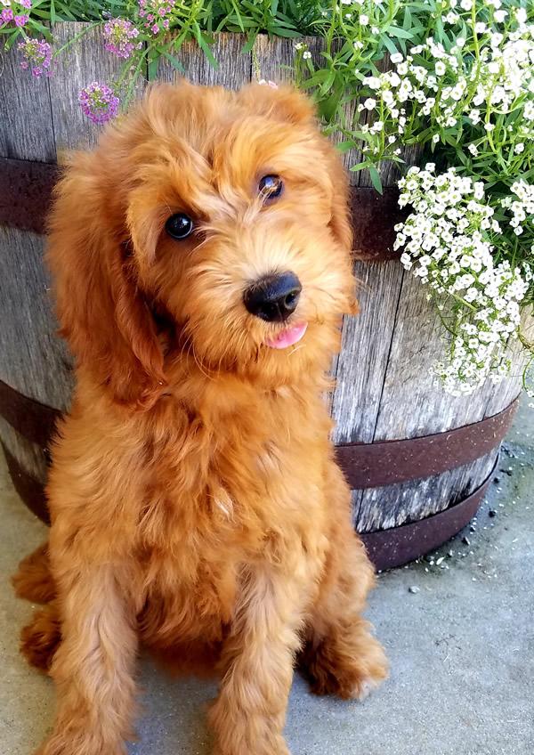 Jessie-Goldendoodle-Puppy
