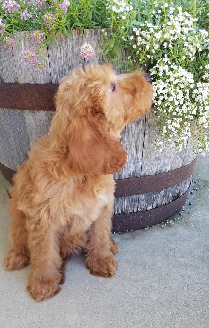 Laney-Goldendoodle-Puppy