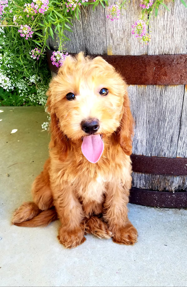 Lilly-Goldendoodle-Puppy