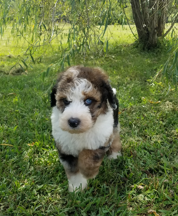 Remi-Tri-Merle-Bernedoodle-Puppy