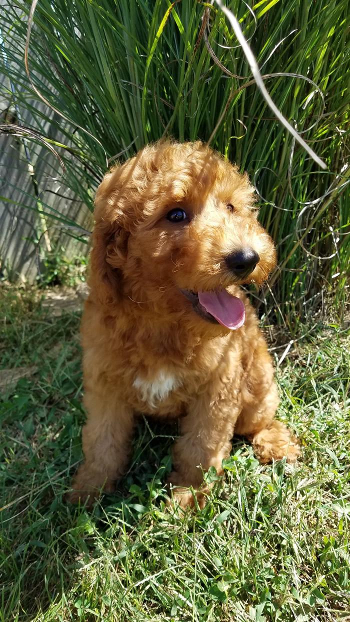 Ryder-Goldendoodle-Puppy