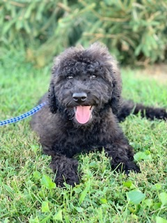 Toby-Goldendoodle-Puppy
