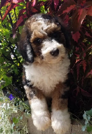 Toby-Tri-Merle-Bernedoodle-Puppy