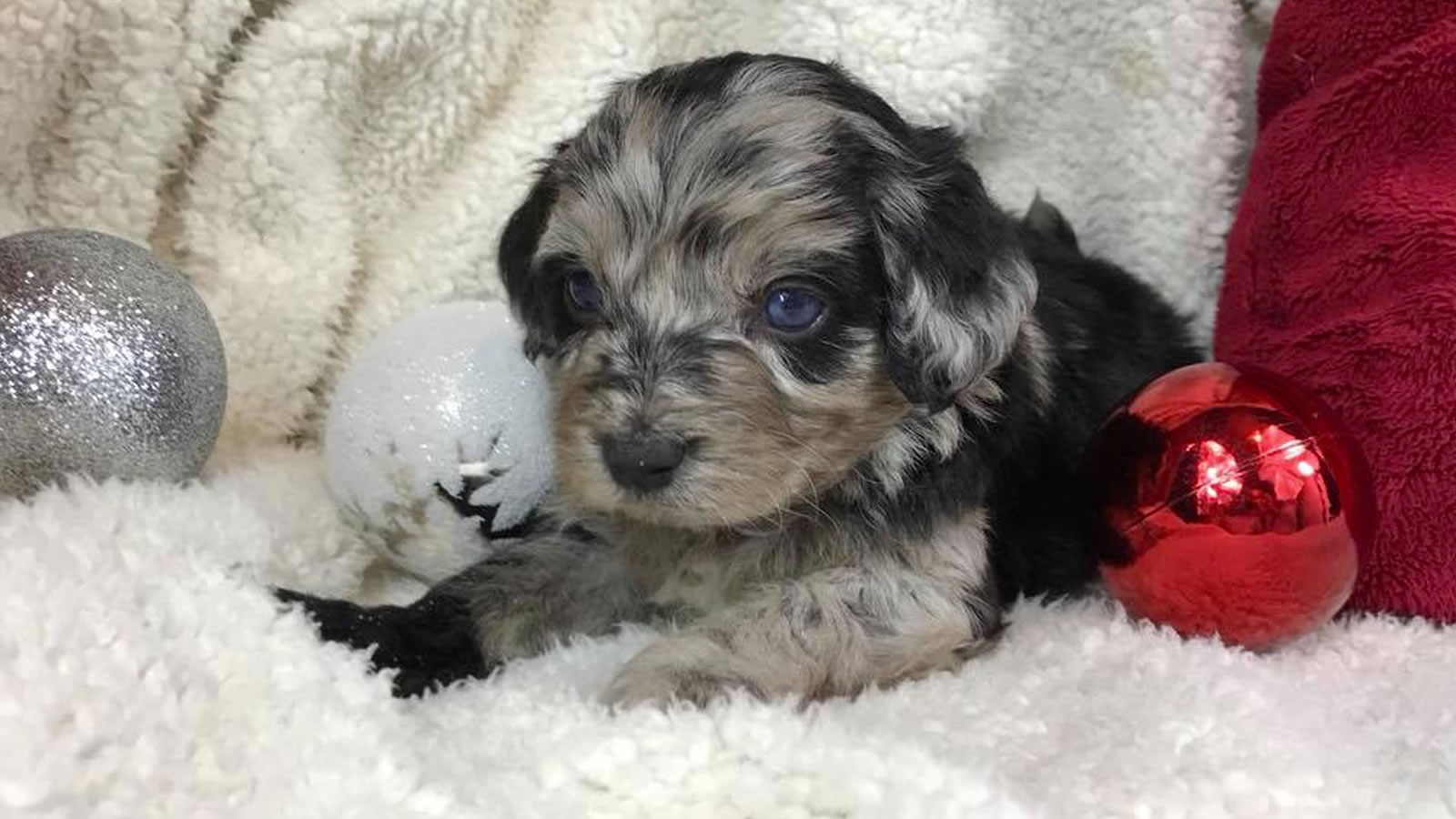 Goldendoodle and Bernedoodle Puppies for Sale