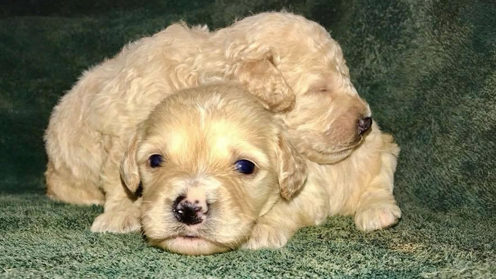 Male Goldendoodle and Bernedoodle Puppies for Sale