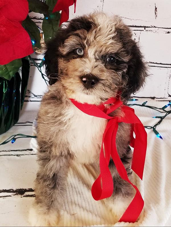 bernedoodle-puppy-1
