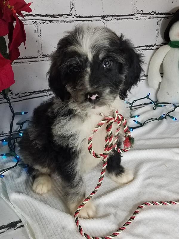 bernedoodle-puppy