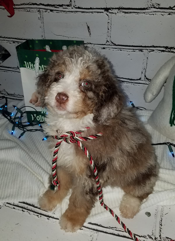 female-bernedoodle-puppy