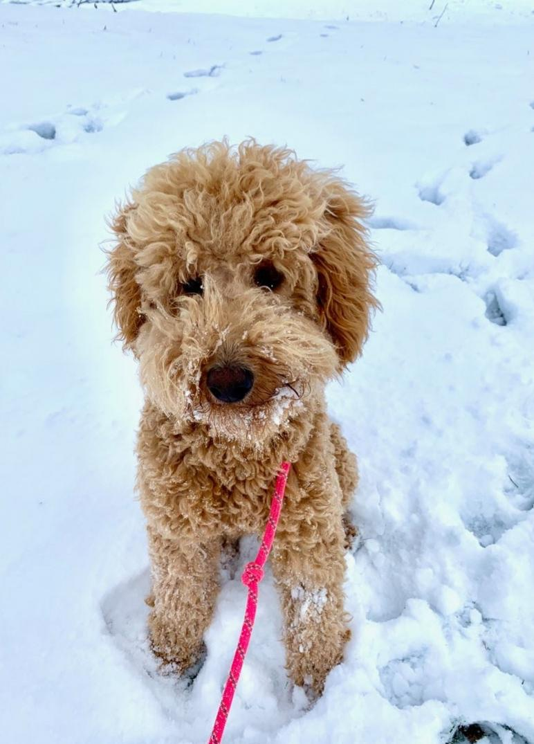 Trained Goldendoodle
