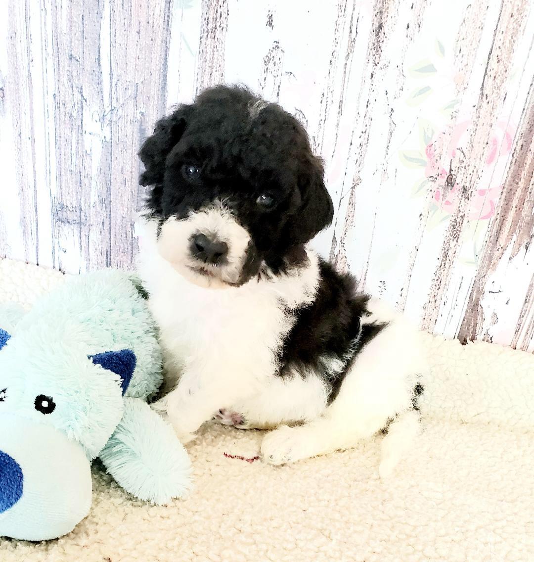 Simon Goldendoodle puppy