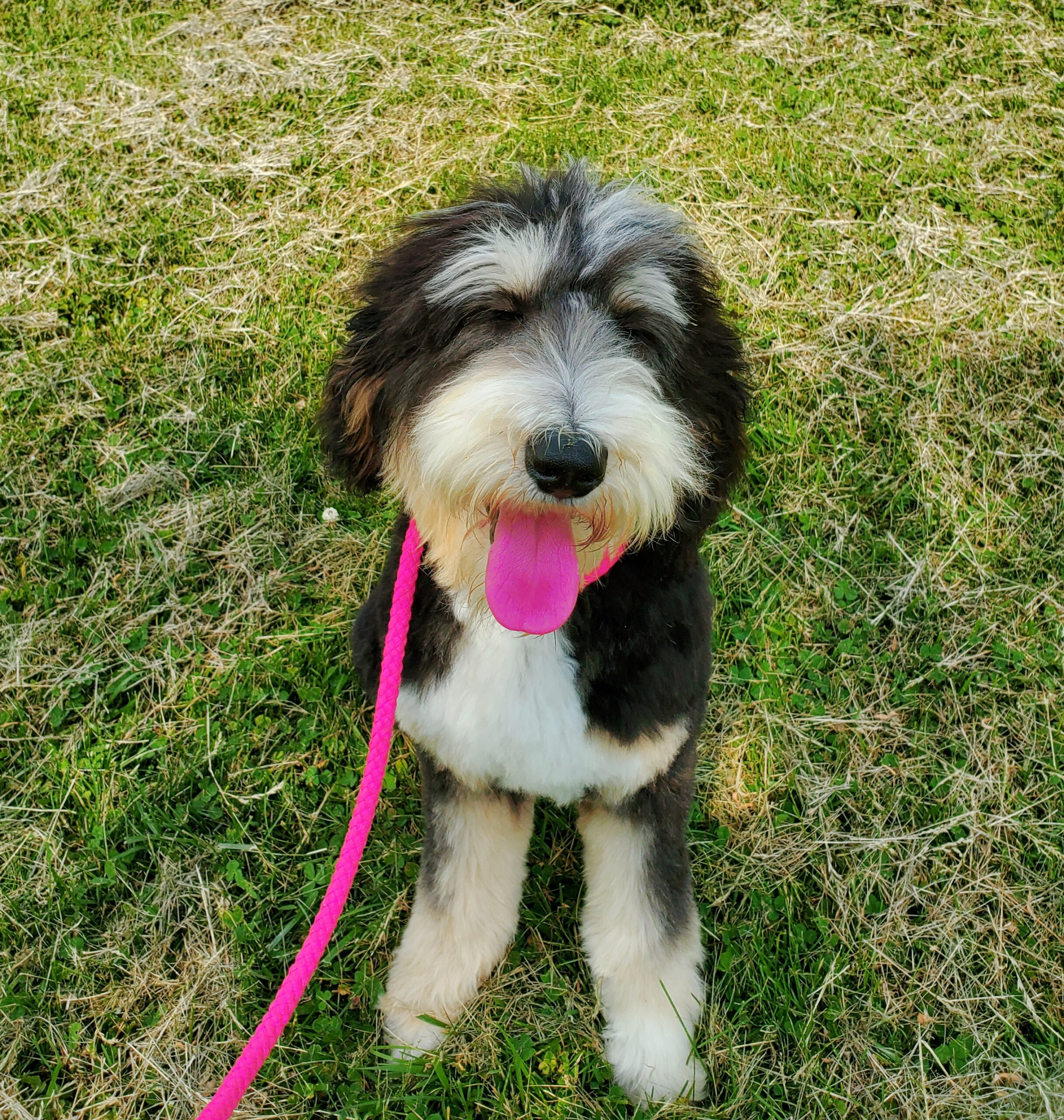 Finn, trained Bernedoodle Puppy